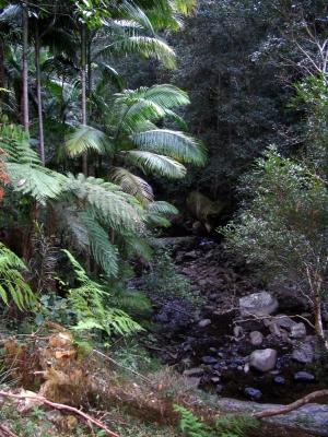 Palisanderbaum im regenwald  Bildergalerie: Australien